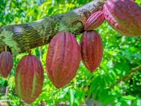 shutterstock_cacao