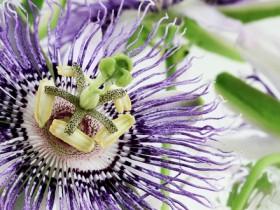 passion flower M