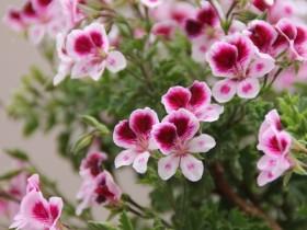 Pelargonium M