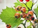 hawthorne berry m