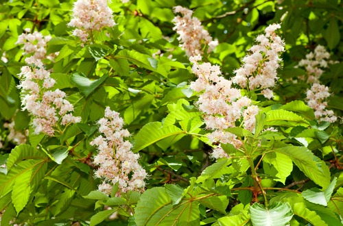 Horse chestnuts m