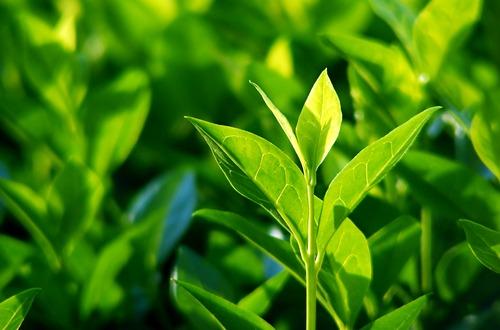 tea leaves m