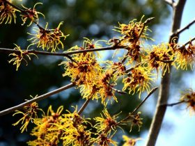 witch hazel m