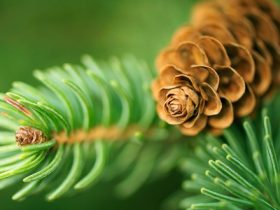 Pine cone and leaves M