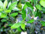 Bay leaf M
