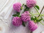 Red Clover M