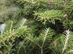 hemlock-spruce