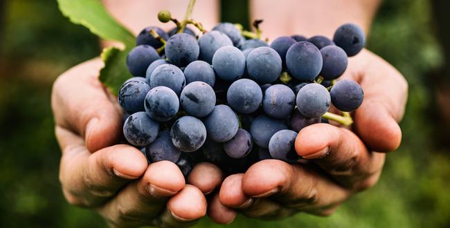 grape - polyphenol