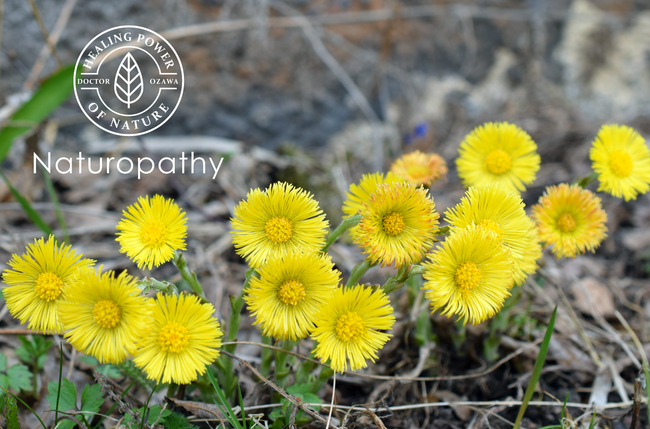 coltsfoot-eyecatch