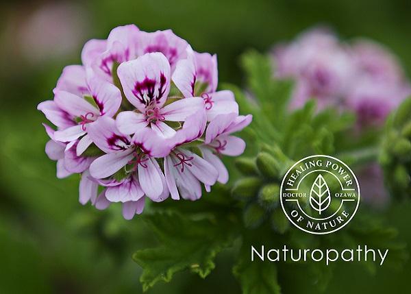 geranium pelargonium-eyecatch