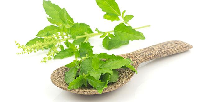 Fresh holy basil leaves - herb on white background
