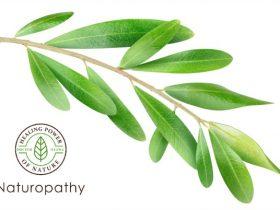 Olive leaf - eyecatch 2