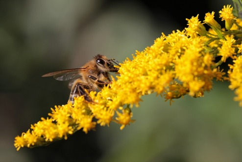 goldenrod & honeybee