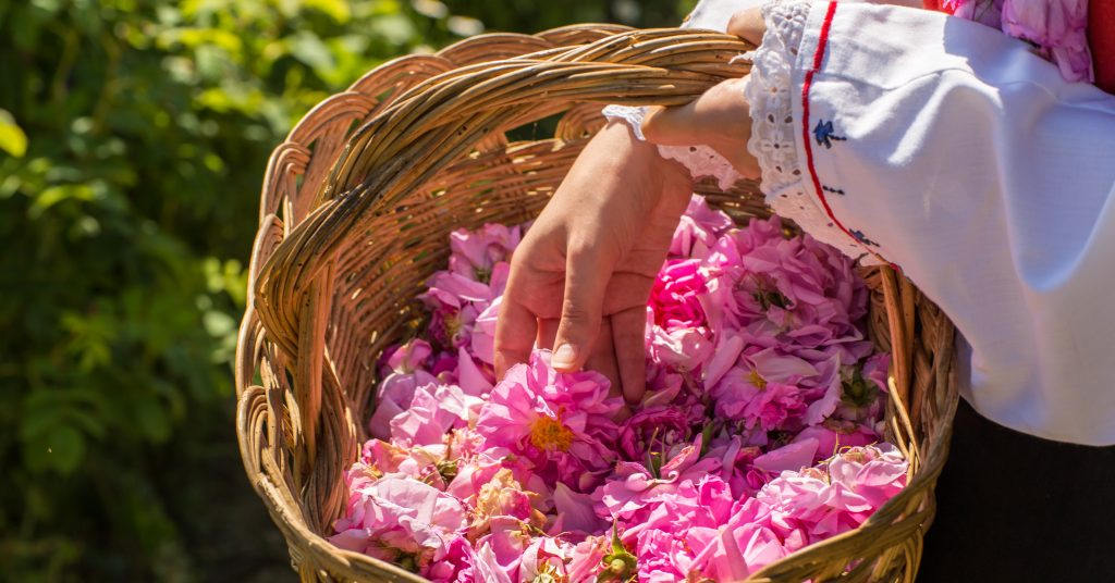 Taking a one flower from a basket filled with pink roses.