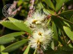 niaouli plant-eyecatch