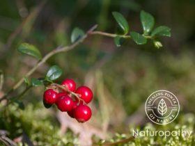 partridge berries -eyecatch