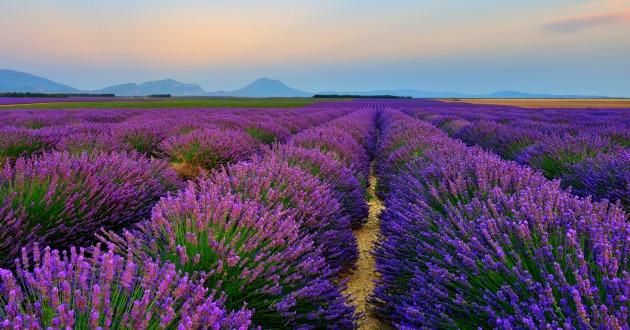 lavender field-630