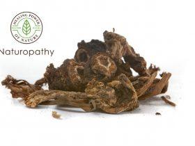 Osha root. Herbal medicine to boost your immune system. Ligusticum porteri.