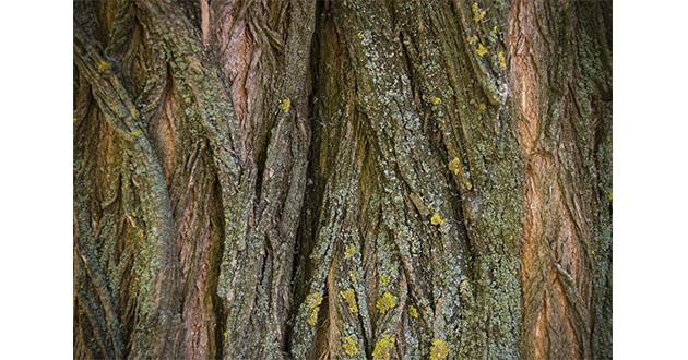 acacia bark-630
