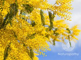 Mimosa flowers