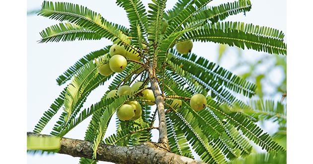 amla tree-630