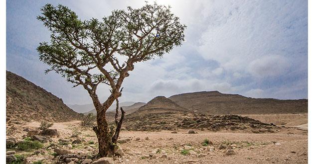 frankincense tree Oman-630