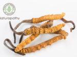 cordyceps-冬虫夏草-eyecatch