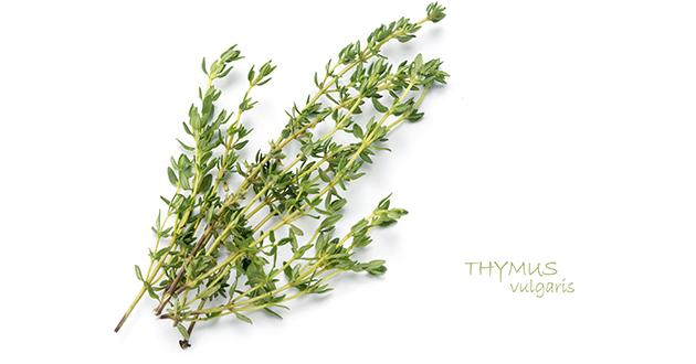 Thyme-Thymus vulgaris-630