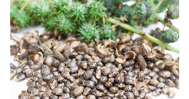 castor oil plants-630