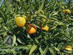 clementine petitegrain-eyecatch
