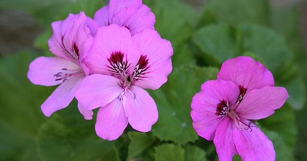 rose geranium -shutterstock_474129382