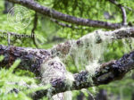usnea hanging-eyecatch