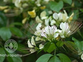 garlic pear flower-eyecatch