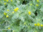 pineapple weed 1-eyecatch