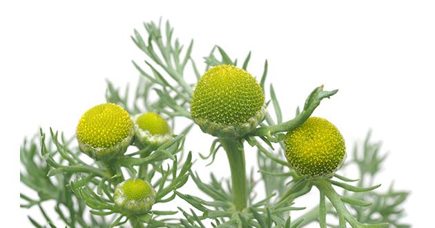 pineapple weed 2-630