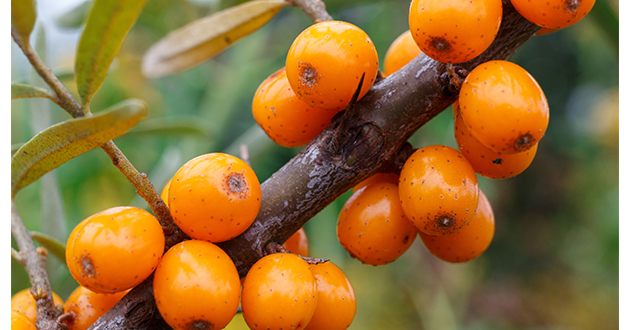 sea buckthorn 2-630