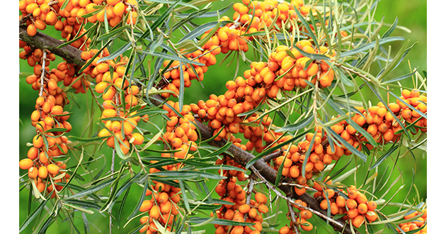 sea buckthorn tree-630