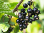 blackcurrants on a tree-eyecatch
