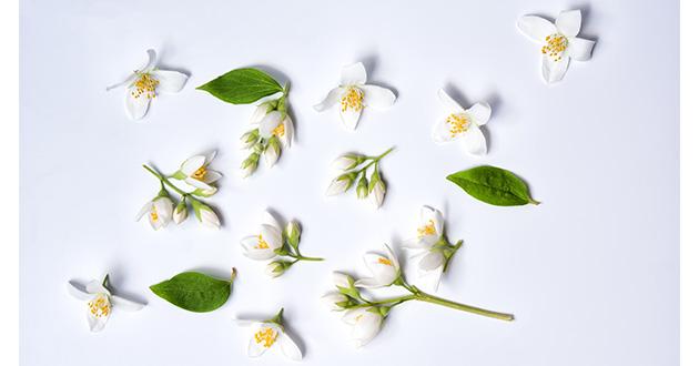 jasmine flowers on white BG-630