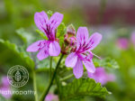 rose geranium-Pelargonium graveolens-eyecatch