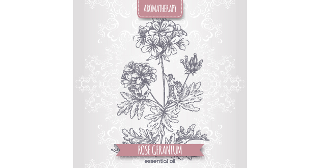 sketch rose geranium EO-630