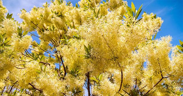 Chionanthus virginicus-fringe tree-630