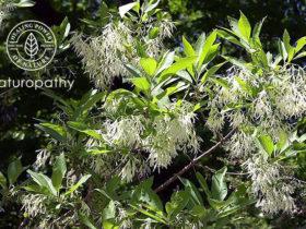 Chionanthus_virginicus-fringe tree-eyecatch