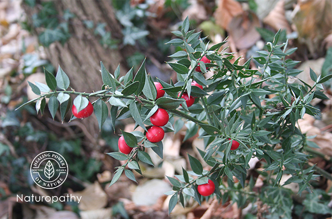 Ruscus aculeatus -butcher's broom-eyecatch
