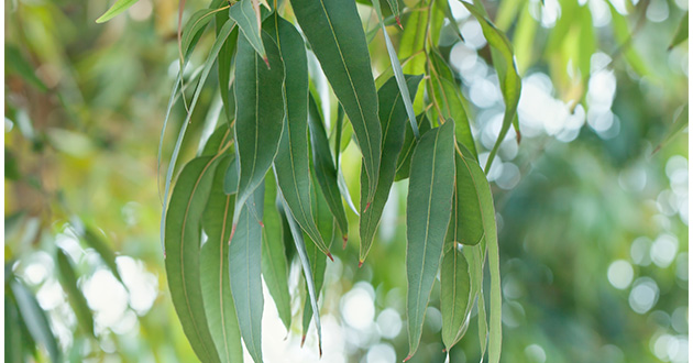 eucalyptus leaves-630
