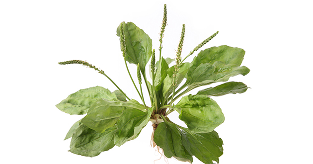 plantain 112018-630