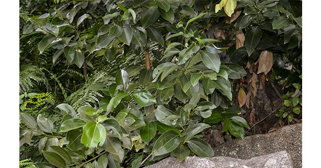 cinnamon leaves-630