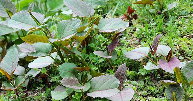japanese knotweed 2-630