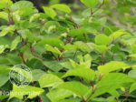 japanese knotweed-eyecatch