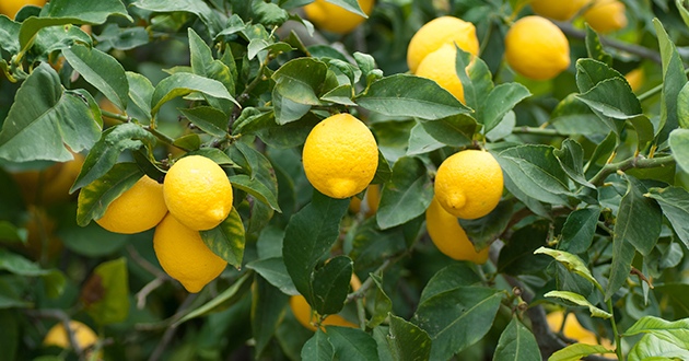 lemon tree-630